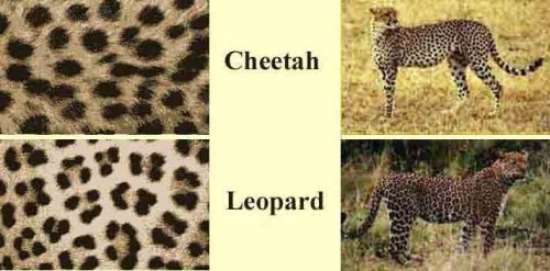 cheetah vs leopard prints