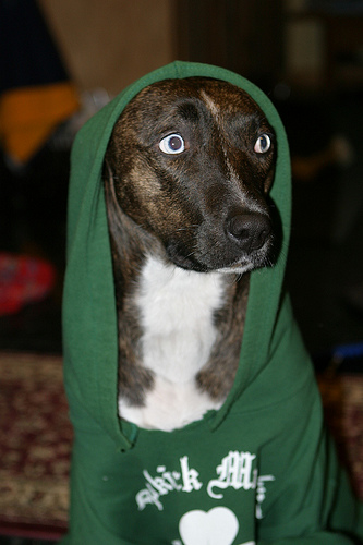 hooded sweatshirt dog