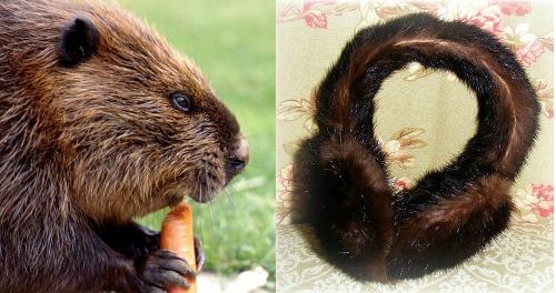 vintage beaver fur